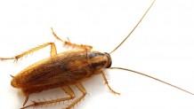 Kalorifer (Alman Hamam ) Böceği İlaçlama